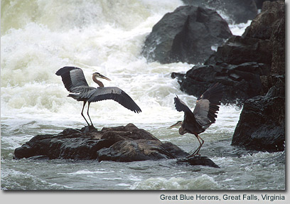 Great Blue Herons, Great Falls, Virginia
